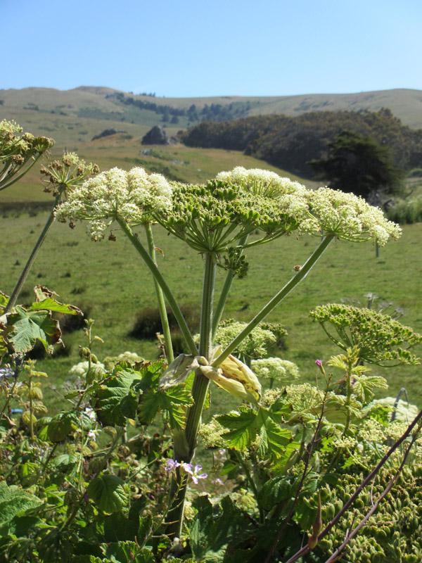 Heracleum lanatum. photo by Meghan Walla-Murphy