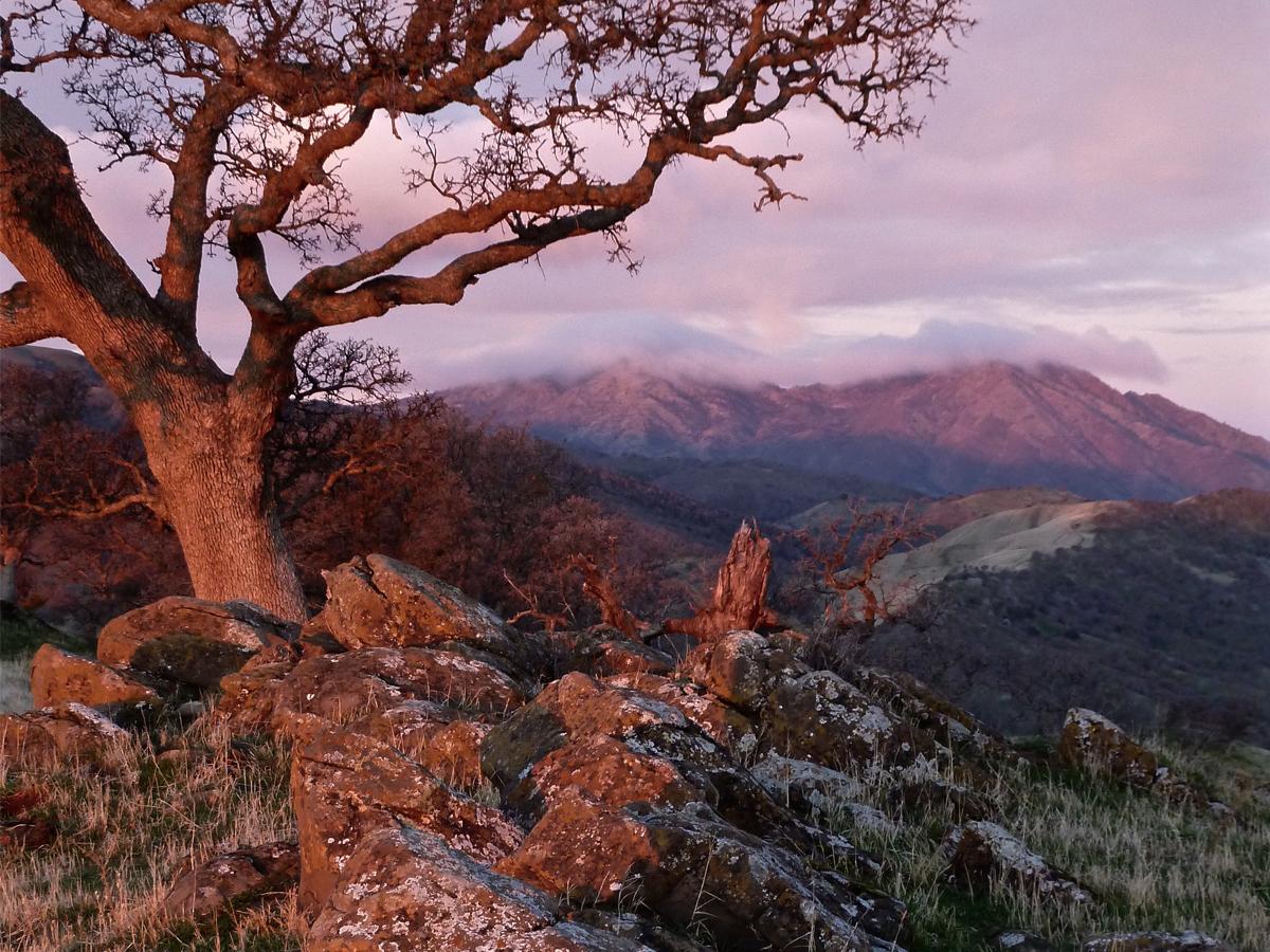 Blue Oak at dawn