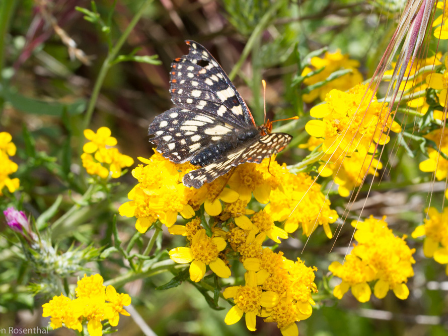 Variable checkerspot. Credit Stephen Rosenthal.