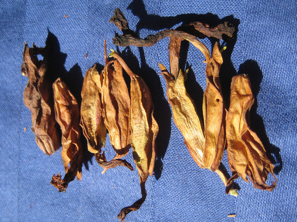 Some seedpods, such as Mimulus shown here, are hard to judge until cleaned, below: