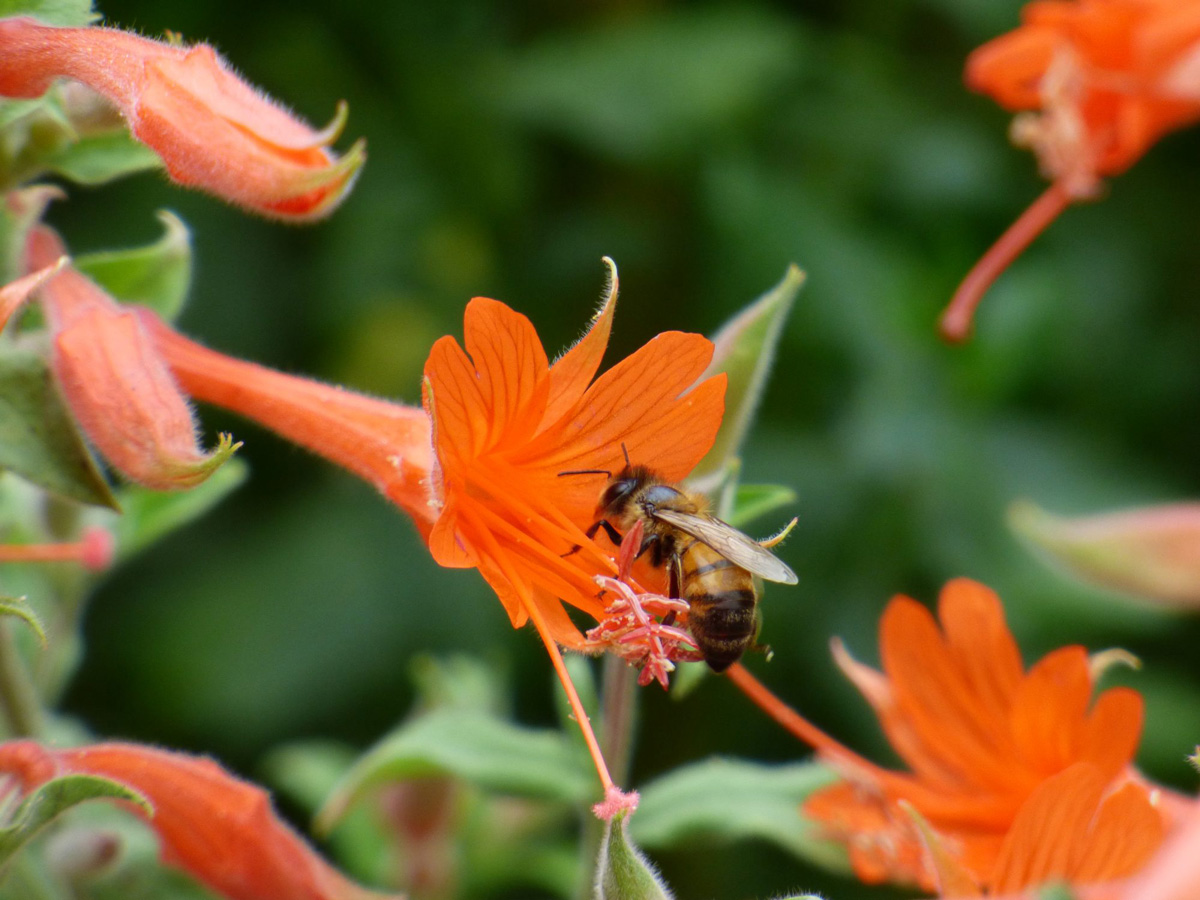 Bee on California Fuchsia. Photo: Veronica Bowers