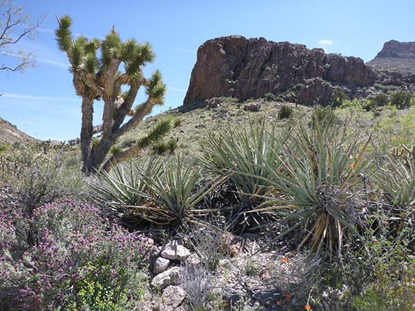 Joshua tree with Spanish bayonet