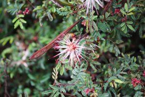 Calliandra eriophylla, 'Pink fairy duster' in the rain. Photo by Laura Camp
