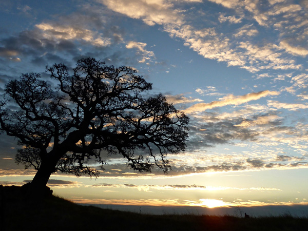 Blue oak. Credit Ger Erickson.