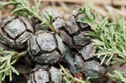 Serotinous cones of Santa Cruz cypress